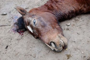 Mistreated and killed horse